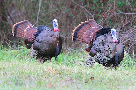 Long-bearded wild turkey